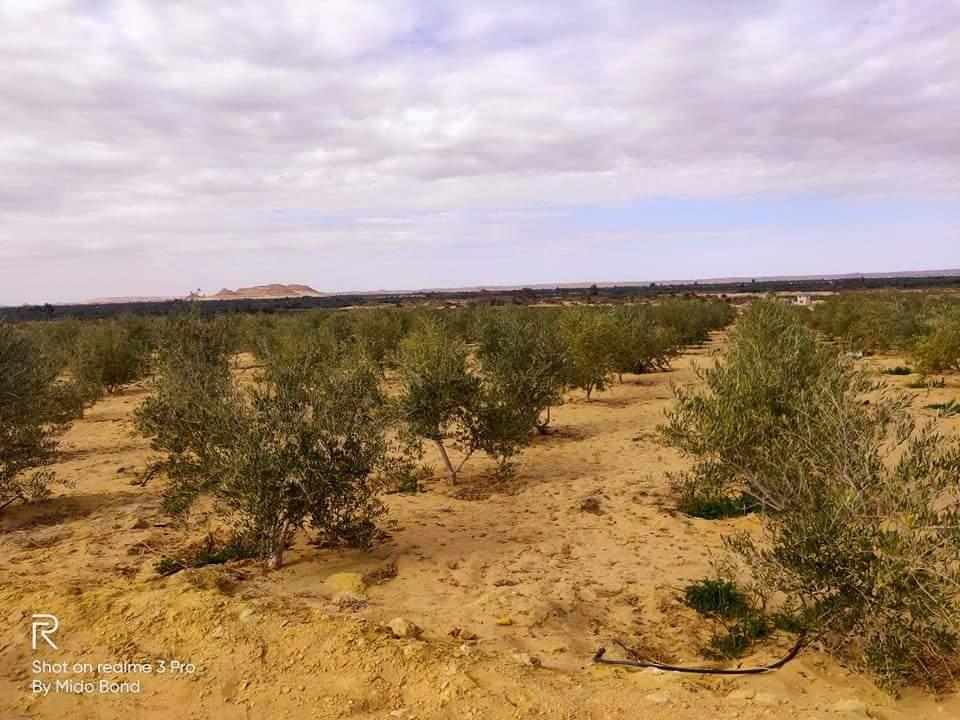 اراضى زراعية للبيع فى واحة الغروب والجمال سيوة